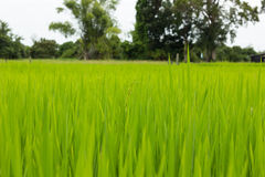 Green leaf rice in field Royalty Free Stock Image