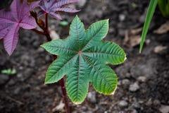 Green leaf ricinus communis on top. Green leaf castor oil plant on top, red, fruit, garden, ricinus, medicinal, ornamental, flora, background, palmcrist, nature stock photo