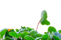 Green leaf rising above the rest. Two leaves rising above the rest symbolizing strength and growth Royalty Free Stock Photos
