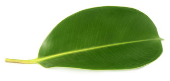Green leaf of Rubber plant. Over white background Stock Photos
