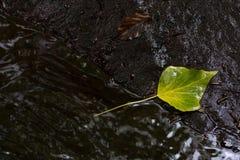 Green leaf in running water. Green leaf on rock in running water in Ballagan Burn Balloch, Scotland Stock Photo