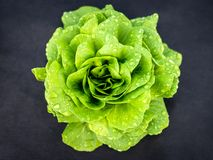 Lettuce plant green leaf salad on a dark background Royalty Free Stock Photo