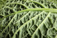 Green leaf of savoy cabbage as background. Closeup royalty free stock image