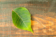 Green leaf of seasonal plant for Christmas Stock Images