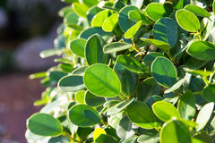 Green leaf select focus Royalty Free Stock Image