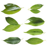 Green leaf set Royalty Free Stock Image