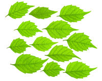 Green leaf set Royalty Free Stock Photography