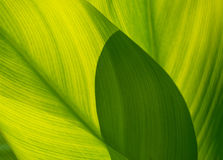 Green leaf  and shadow for background, soft focus Royalty Free Stock Image