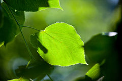 Green leaf, shallow focus. And some back light royalty free stock photos
