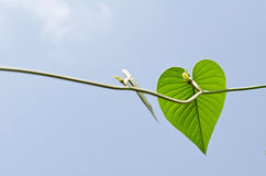 Green leaf Heart. Green leaf in shape of heart with blue sky Royalty Free Stock Images