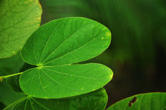 Green leaf shape Royalty Free Stock Photography