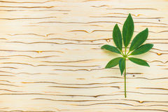 Green leaf of shefler on  ice tree background Royalty Free Stock Image