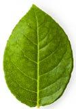 Green leaf. Of shrub roses Stock Images