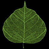 Green leaf skeleton Stock Images