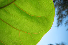 Green Leaf and sky Stock Image