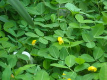 Green leaf small yellow flower. Green leaf with small yellow flower Stock Image
