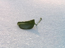 Green leaf on a snow. Royalty Free Stock Image
