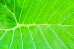Green leaf soft texture beautiful background with copy space add text  Colocasia esculenta L. Schott ARACEAE. Green leaf soft texture beautiful background with Stock Photos