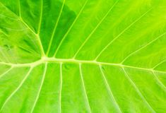 Green leaf soft texture beautiful background with copy space add text  Colocasia esculenta L. Schott ARACEAE. Green leaf soft texture beautiful background with Royalty Free Stock Photography