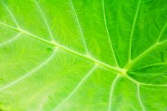 Green leaf soft texture beautiful background with copy space add text  Colocasia esculenta L. Schott ARACEAE. Green leaf soft texture beautiful background with Stock Images