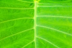 Green leaf soft texture beautiful background with copy space add text  Colocasia esculenta L. Schott ARACEAE. Green leaf soft texture beautiful background with Stock Photo