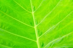 Green leaf soft texture beautiful background with copy space add text  Colocasia esculenta L. Schott ARACEAE. Green leaf soft texture beautiful background with Royalty Free Stock Photo