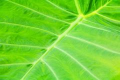 Green leaf soft texture beautiful background with copy space addgreen leaf soft texture beautiful background with copy space add t. Green leaf soft texture Stock Photo