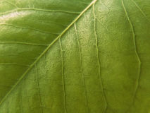 Green Leaf Stock Image