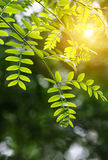 Green leaf in the spring. With sunshine Royalty Free Stock Images