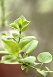 Green leaf in spring time. Green leaves in early spring time,focus on the central one Stock Images