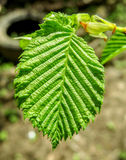 Green leaf in springtime Royalty Free Stock Photography