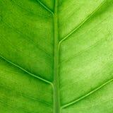 Green leaf square background. Macro, shallow DOF. Royalty Free Stock Photo