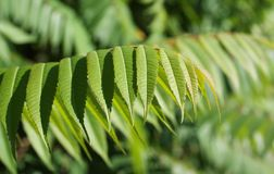 Staghorn sumac Royalty Free Stock Images