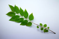 Green leaf of star gooseberry Royalty Free Stock Image