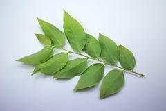 Green leaf of star gooseberry Stock Photos