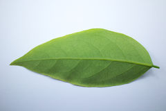 Green leaf of star gooseberry Royalty Free Stock Photos