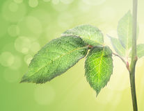 Green leaf on stem on background of foliage and bokeh. Nature background royalty free stock photography