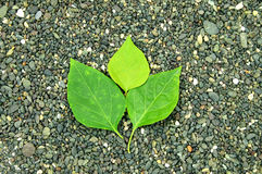 Green leaf on stone background. Green leaf in the middle of the stone background Stock Photos