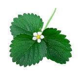 Green leaf of Strawberry Plant Stock Photos