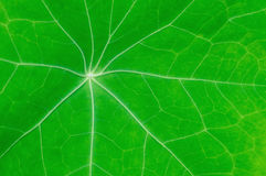 Green leaf with streaks Stock Images