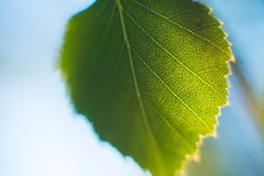 Green leaf with streaks in the blue sky in summer royalty free stock photos