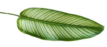 Green leaf stripe of Calathea Ornata Albolineata. With an isolated background royalty free stock images