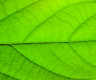 Green leaf structure Stock Photos