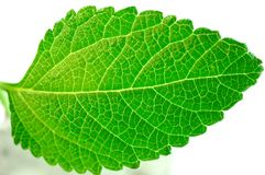 Green leaf structure. Isolate on white Stock Image