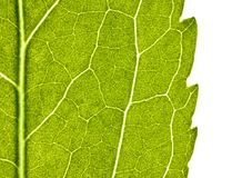 Green leaf with structure in close up Royalty Free Stock Image