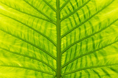 Green leaf in summer Royalty Free Stock Image
