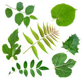 Green  leaf. Summer Green leaf on white background Stock Photos
