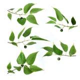 Green leaf. Summer Green leaf on white background Stock Image