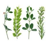 Green leaf. Summer Green leaf on white background Stock Images