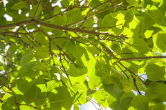 Green leaf and sun Royalty Free Stock Image